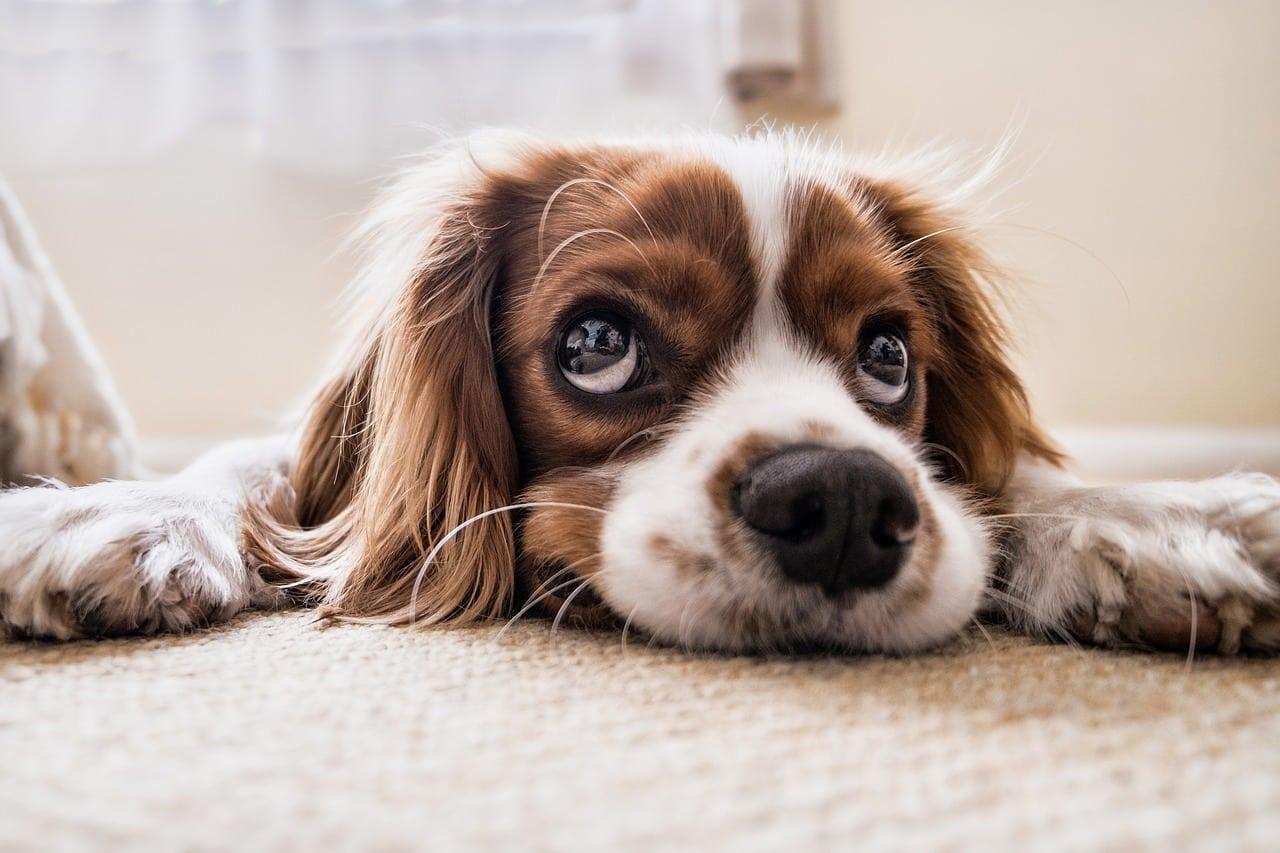 chien en appartement